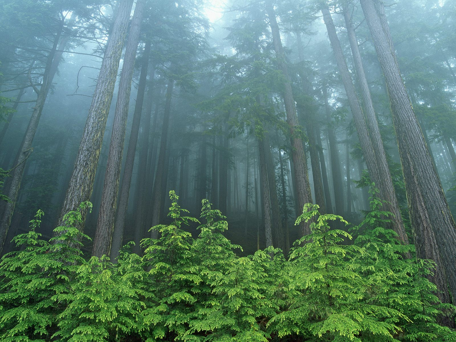 Trees Woodland And Forests Evergreen Forest Olympic National Park Washington