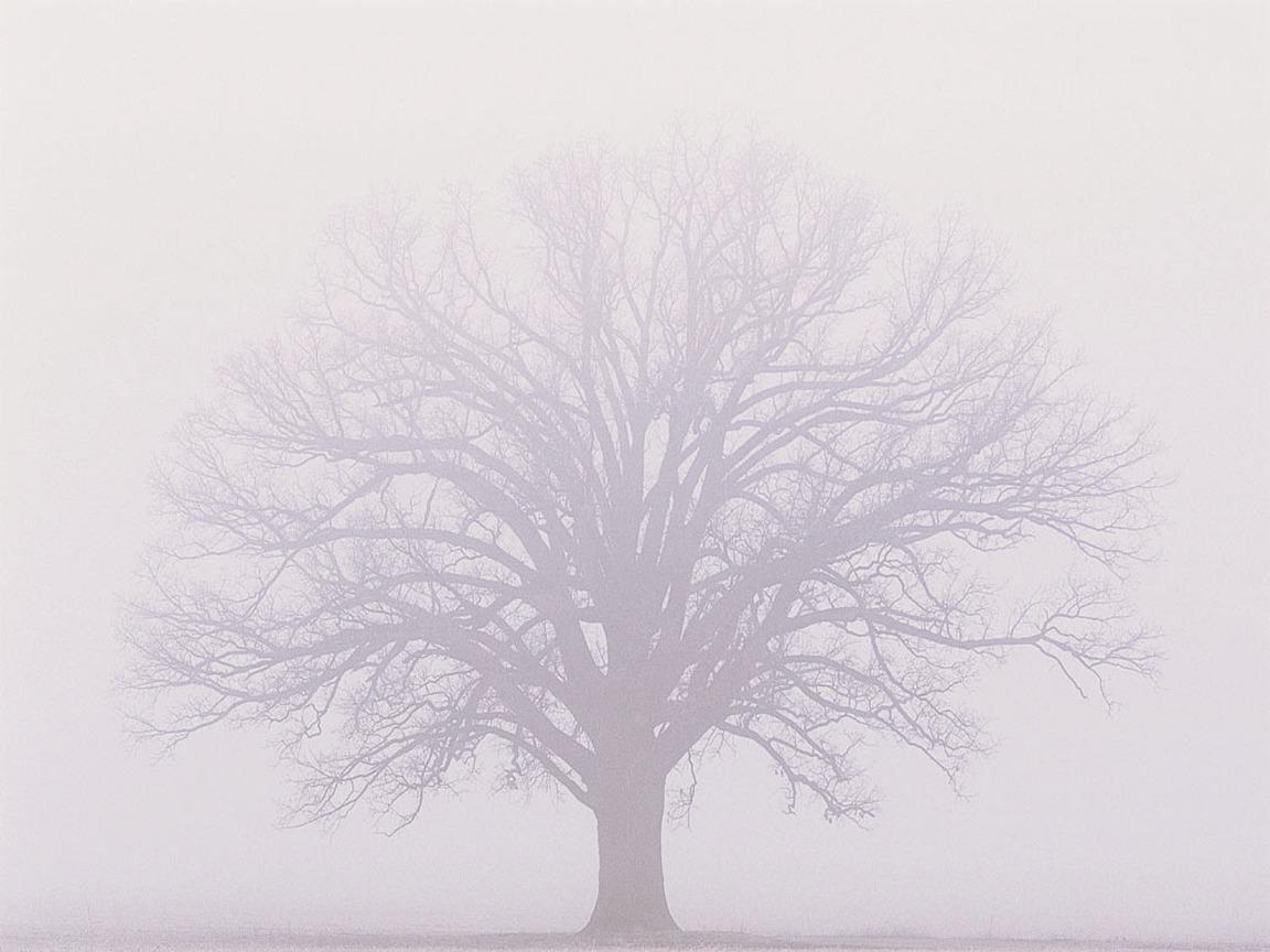 Burr Oak Misty Fog