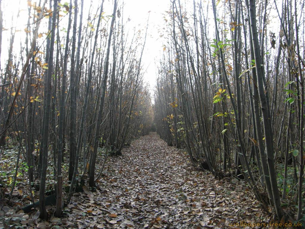 Chestnut Woodland Path
