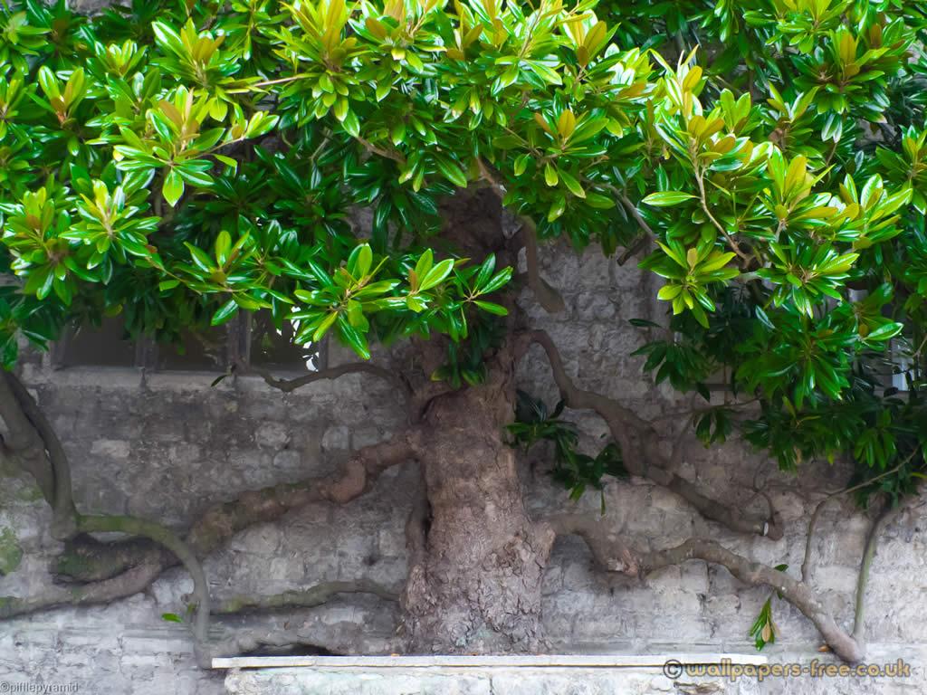 Magnolia Growing On Wall