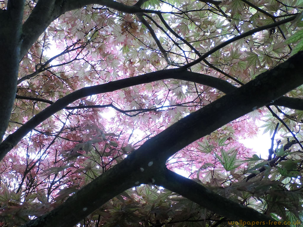 Ornamental Maple Purple Green Canopy 2