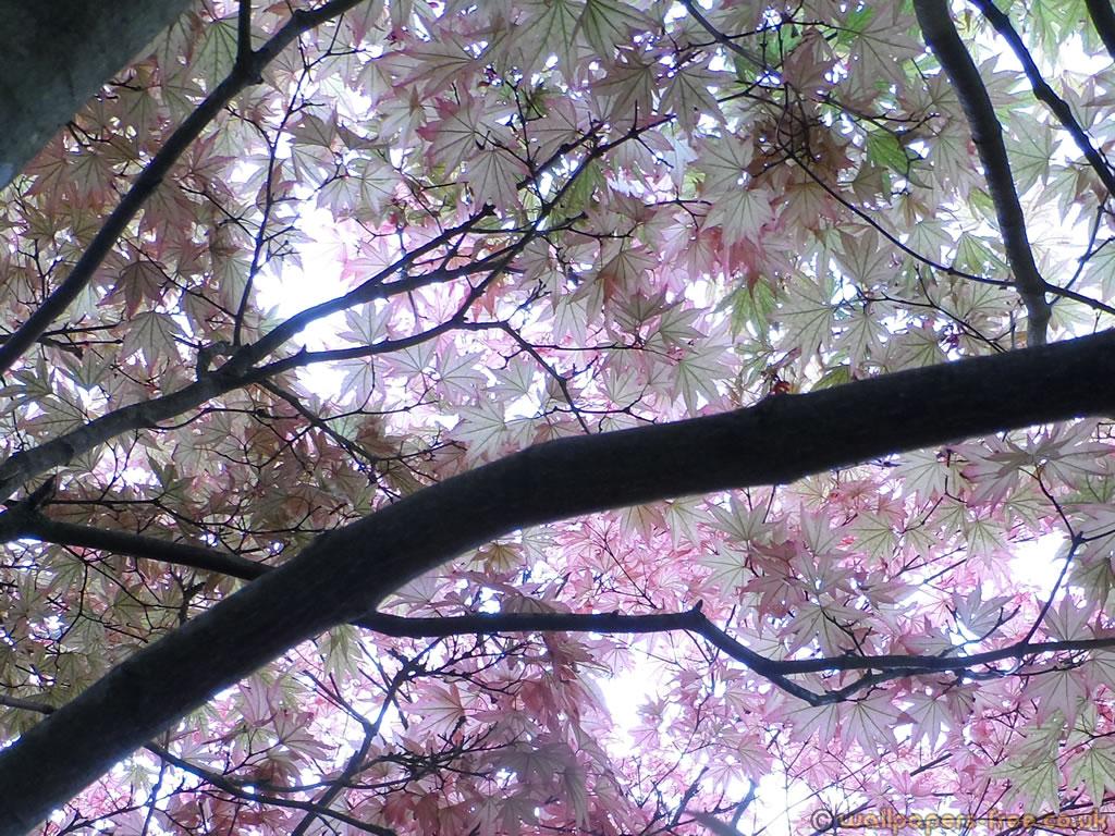 Ornamental Maple Purple Green Canopy