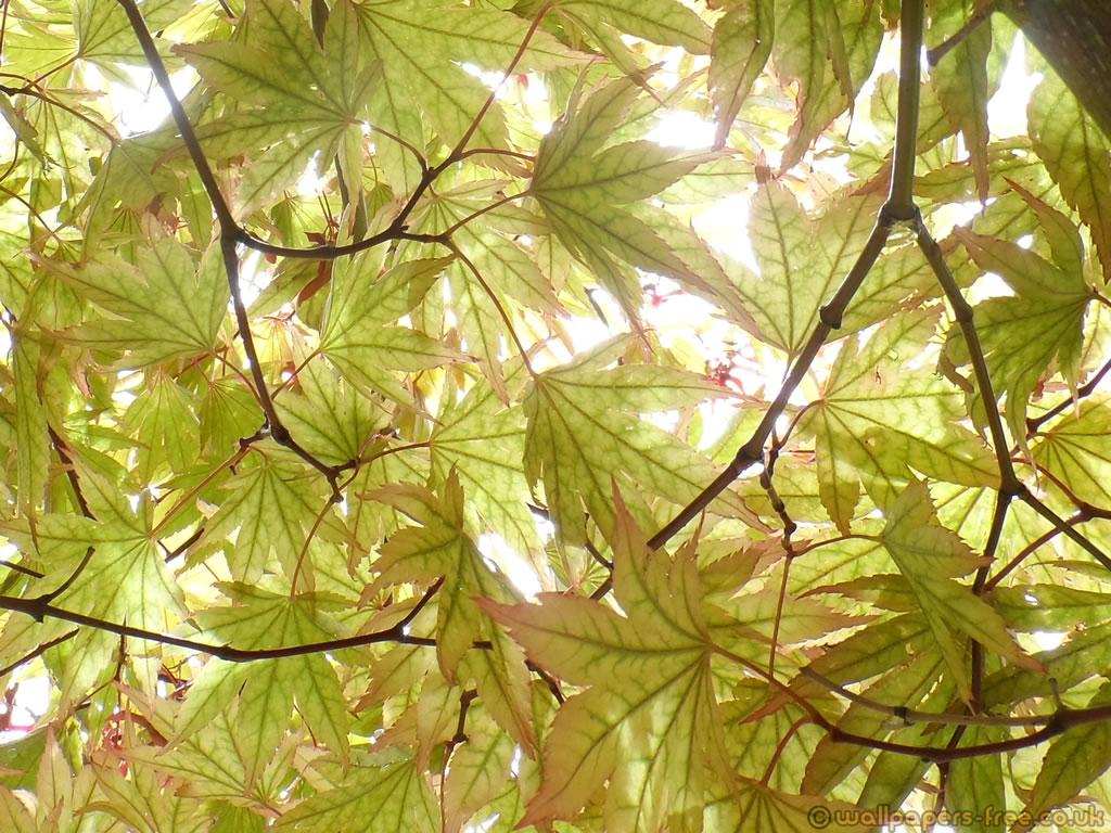 Patchwork Of Green Ornamental Maple Leaves