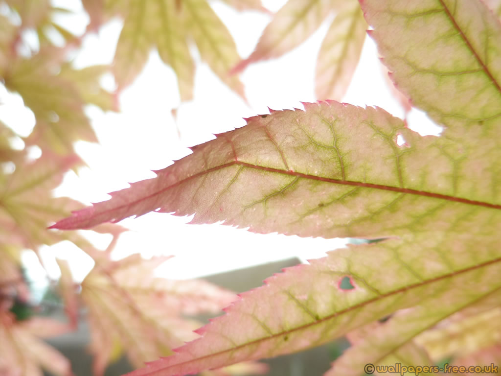 Purple Tinged Leaf From Japanese Maple In Sunlight