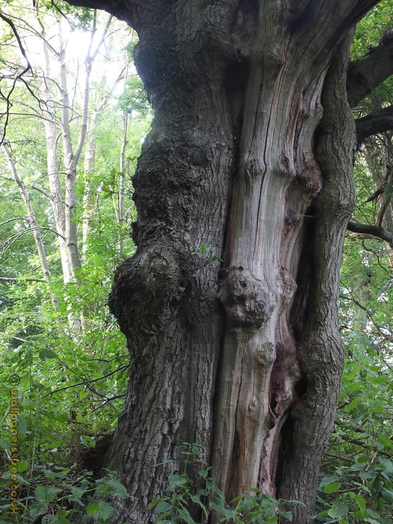 Skeleton Tree Showing Dead Inner Trunk
