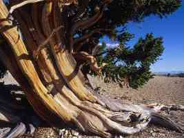 Bristlecone Pine in the Patriarch Grove California