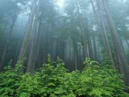 Evergreen Forest Olympic National Park Washington