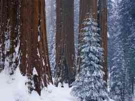 Sequoias in winter