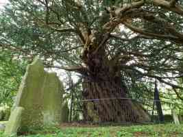 ancient yew tree in loose village kent