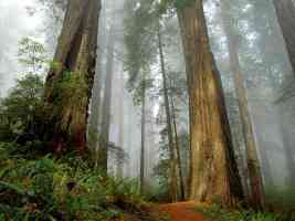 californian Redwood