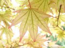 purple tinged palmately lobed oranamental maple leaf