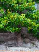 wall trained non flowering magnolia tree