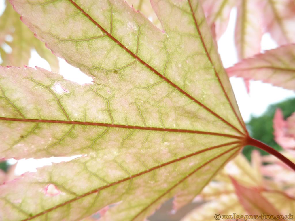 Transparent Leaf And Stem Of Ornamental Japanese Maple