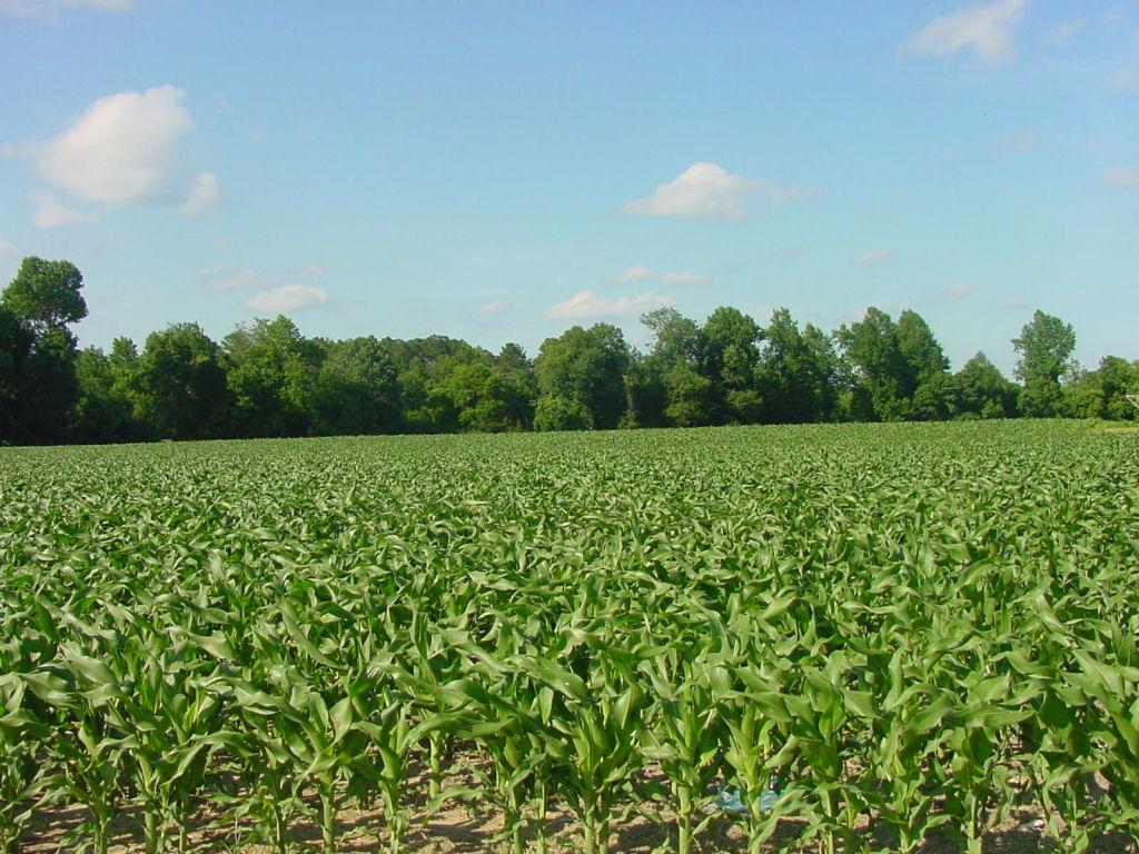 Corn Field Jacksonville