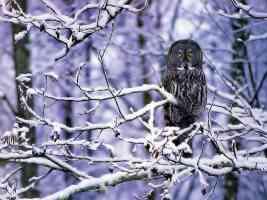Spot Owl