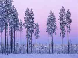 snowy purple haze