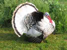 thanksgiving turkey photo
