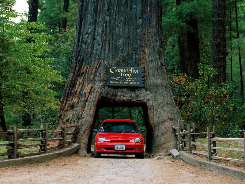 Chandelier Tree Leggett California