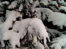 snowy tree close up