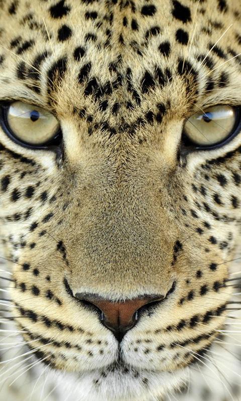 Big Cat Tiger
