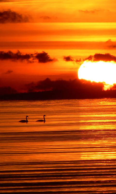 Bird Sunset And Swans
