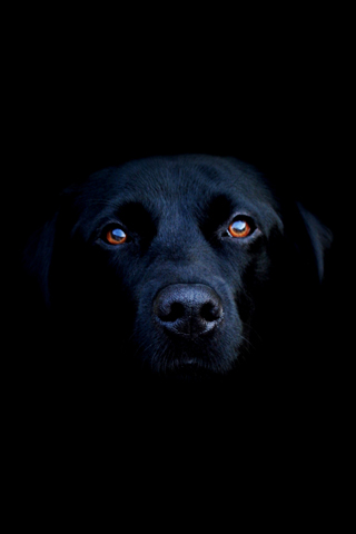 Dog Black Lab
