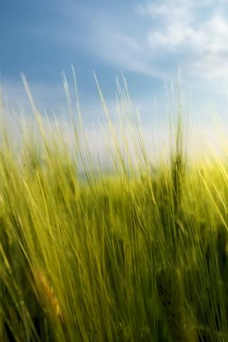 Garden Spring Wheat