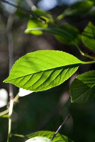 Garden Translucent Leaf