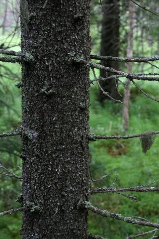 Woodland Metsa Forest