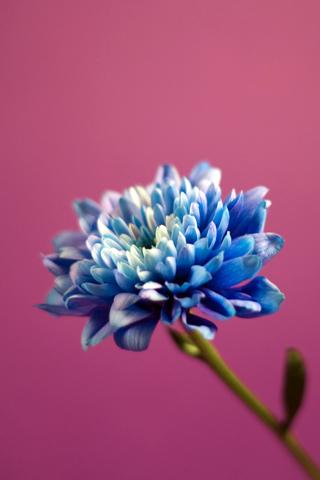 Close Up Beautiful Blue Flower