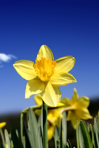 Close Up Blue Sky And Daffodil Close Up