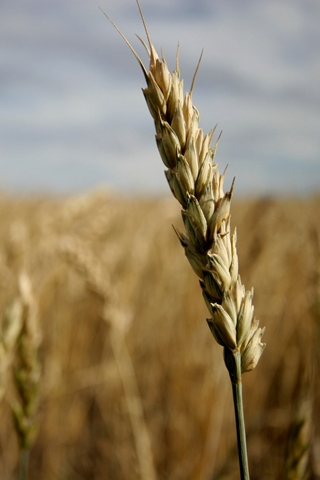 Close Up Head Of Wheat