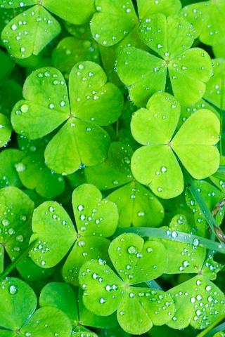 Close Up Irish Clovers