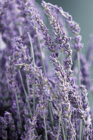 Close Up Purple Violet Flowers Close Up