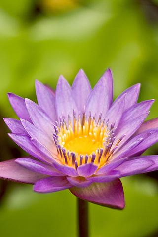 Flower Cerulean Nymph