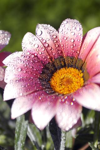 Flower Morning Dew
