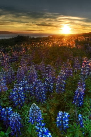 Wild Blue Flowers At Dawn - A nature mobile wallpaper featuring flower