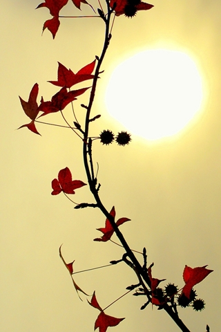 Autumn Autumn Red  Leafy Branch And Sun