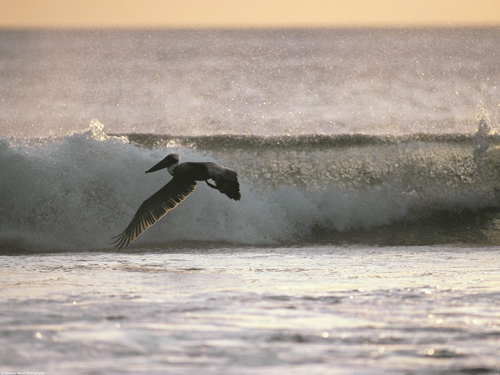 flying with ease brown pelican Wallpaper Background thumbnail