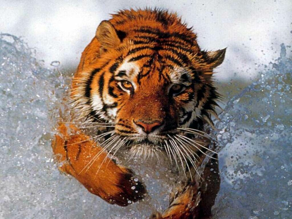 tiger running through water - tigers wallpaper